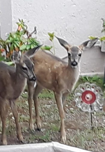 Two deer outside the inn