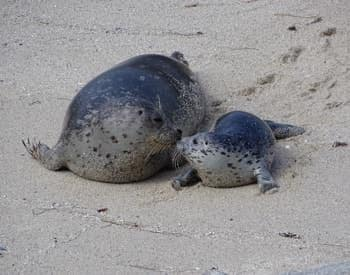 Mother seal with her baby, nose to nose in the sand